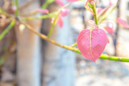 peepal tree: Pink or red pho or bodhi leave buds.