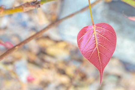 peepal: Pink or red pho or bodhi leave buds.