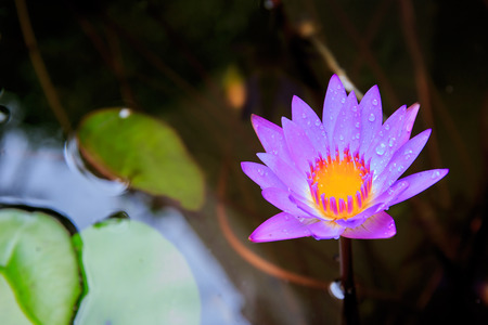 Colorful blooming pink water lily or lotus flower with water or rain.