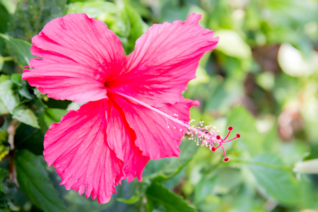 Red hibiscus flower, china rose or chaba flower, hibiscus rosa.