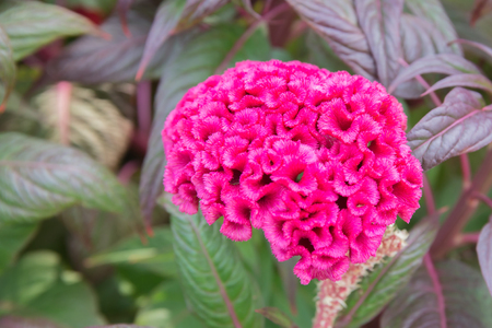 Cockscomb or Celosia flower on a colorful leaf background. Stock Photo