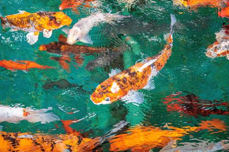 Veel Fancy Carp of Crap of Koi vis oranje of goudkleurig, zwemmen in de vijver die watergolven. Stockfoto