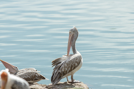 onocrotalus: Pelican bird swimming in lake or pond. Stock Photo