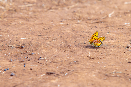 Beautiful colorful yellow butterfly on the mud floor ground.