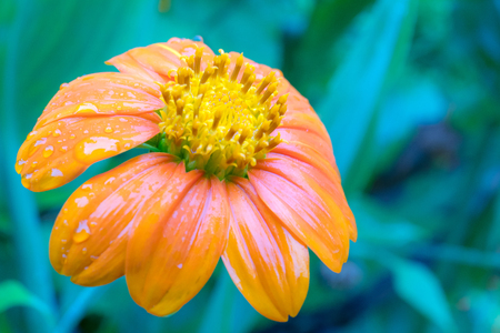 Yellow or orange flower with water drops after raining with copy space. Stock Photo