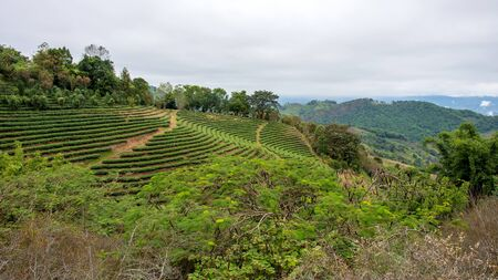 Green tea plantation at mountain hill forest of Chiang Mai, Thailand, Asia.