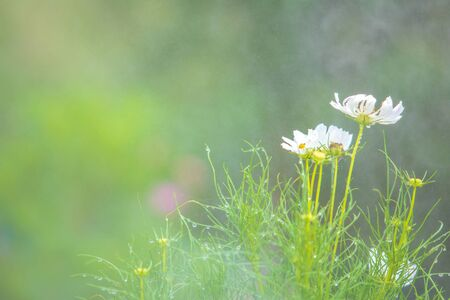 Selective focus on green grass or leaf with pink cosmos flower with fresh rainwater or dew.