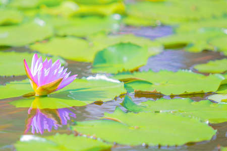 Beautiful colorful blooming pink water lily or lotus flower.