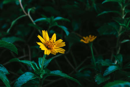 Closeup or macro shot of small yellow daisy flower and green leaf.