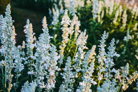 White lavender flower in field garden with dark forest tone.
