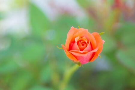 Beautiful cute small rose in closeup shot.