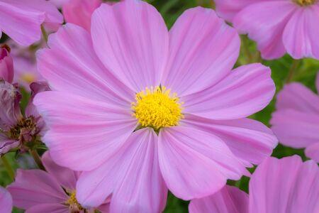 Cosmos bipinnatus flower or colorful pink flower in garden. Archivio Fotografico