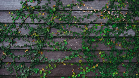 Green ivy plant on the old wooden plank. Archivio Fotografico