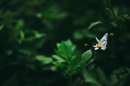 Beautiful small white butterfly on the white daisy flower and green leaf in dark forest tone. Archivio Fotografico