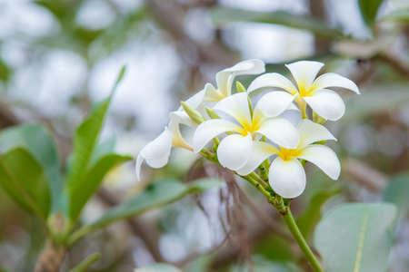 Beautiful frangipani white flower on the tree.
