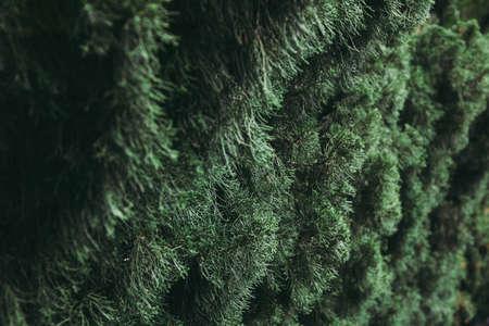 Closeup to young pine tree leaf. Archivio Fotografico