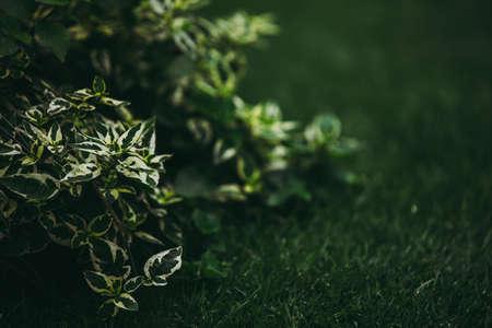 Selective focused on pine tree leaf or fern leaf in dark forest tone.