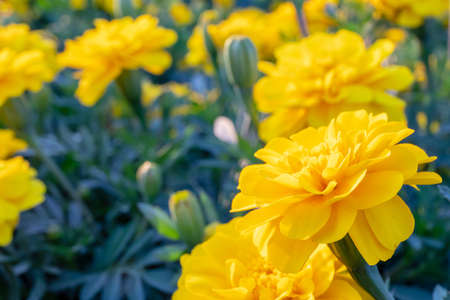 Tagetes patula or Colorful yellow flower in the public park garden. Archivio Fotografico