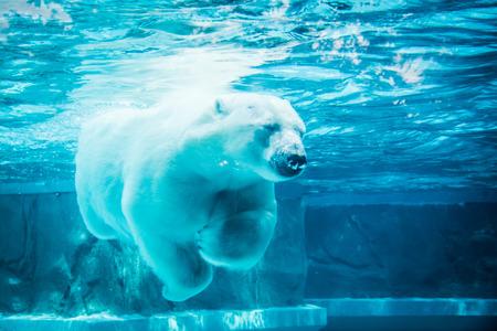 oso blanco: Oso polar en el sueño Foto de archivo