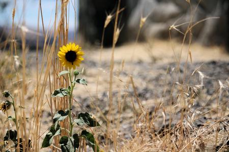 Woestijn bloem Stockfoto