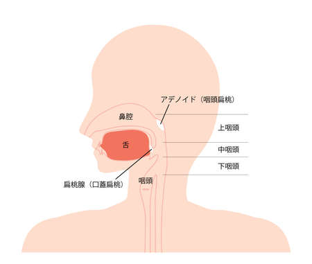 Cross-sectional view of nose, mouth and throat.