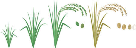 It is an illustration depicting the growth of rice.
