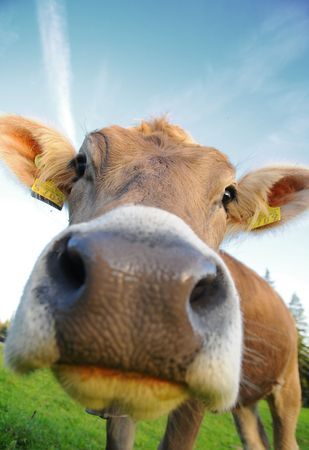cow sniffing Stock Photo