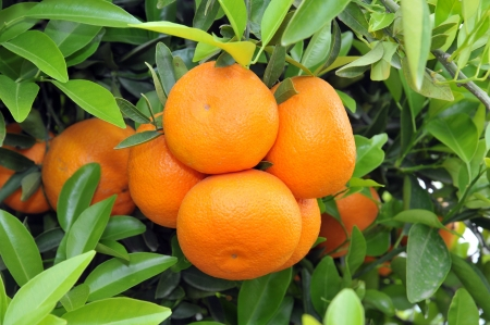 ripe oranges at tree with leaves 版權商用圖片