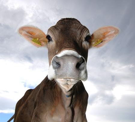 koe grazen in de schemering Stockfoto