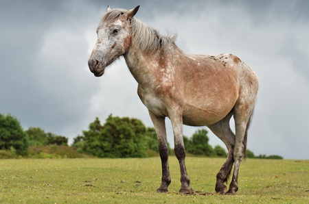 hampshire: new-forest-pony in new forest, england, on a meadow Stock Photo