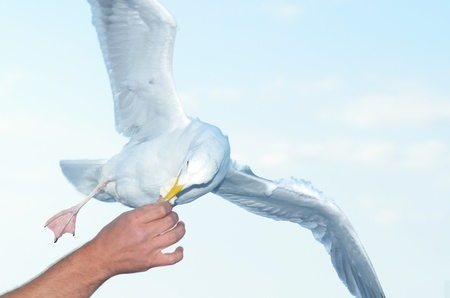 dove snapping small piece of bread during fly photo