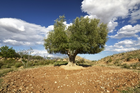 Olive tree in nature photo