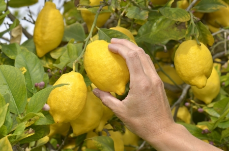 A farmer picking a ripe lemon from tree during harvest time Stock Photo - 17101526