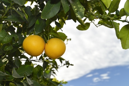 two fresh ripe grapefruits at tree in wintertime in Spain