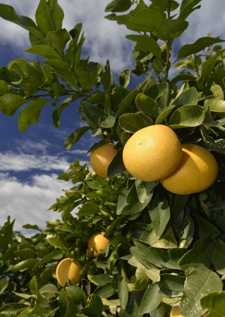 fresh ripe and yellow grapefruit at tree in Spain