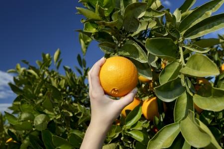 lustful: hand gathering fresh ripe orange from tree at noon Stock Photo
