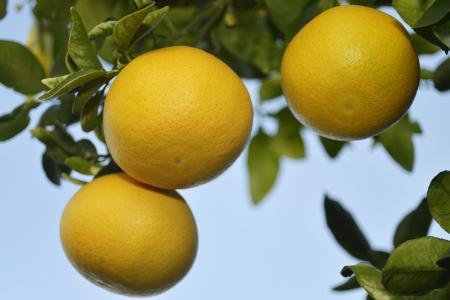 three ripe grapefruit at tree in wintertime in the sun of Spain