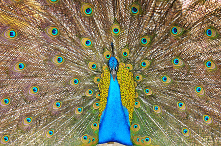 blue peafowl: peacock showing his plumage Stock Photo