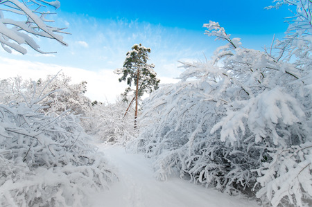 snowy forest in December photo