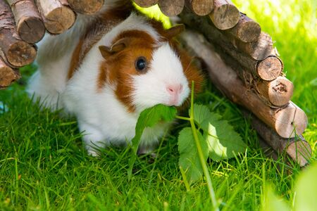 Guinea pig sitting on grass eating green stuff