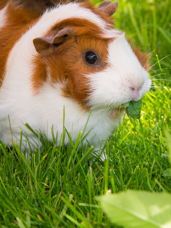 Guinea pig sitting on grass eating