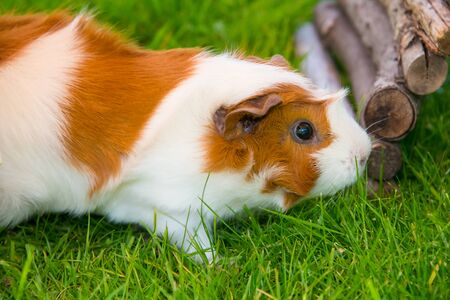 Guinea pig sitting on grass
