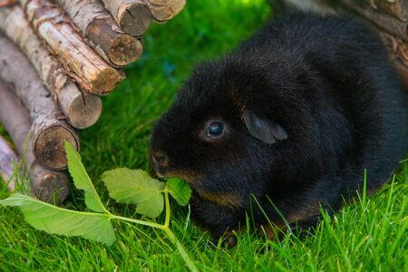 Black Guinea pig sitting on grass eating herbs