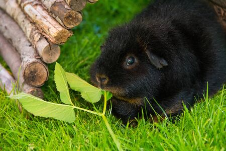 Black Guinea pig sitting on grass eating greens