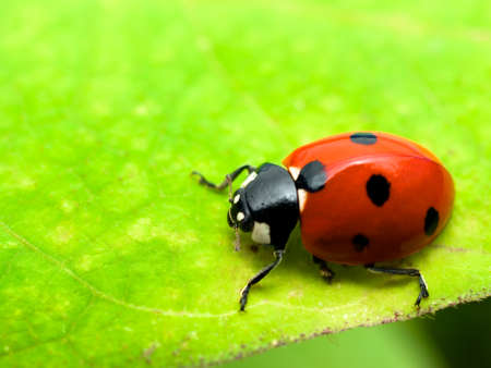 close up of ladybird on green leaf