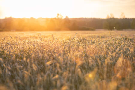 Sunset on wheat field. This file is cleaned and retouched.