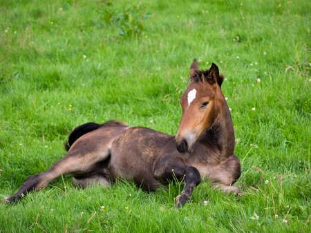 shot of young horse lying on green pasture