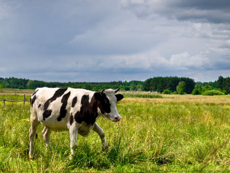 shot of cow on natural meadow