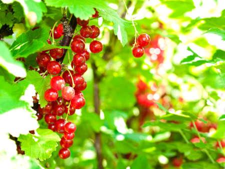 shot of red currant in the garden 版權商用圖片