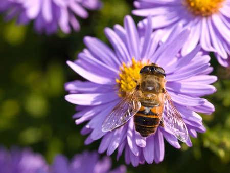 close up of bee on michaelmas daisy